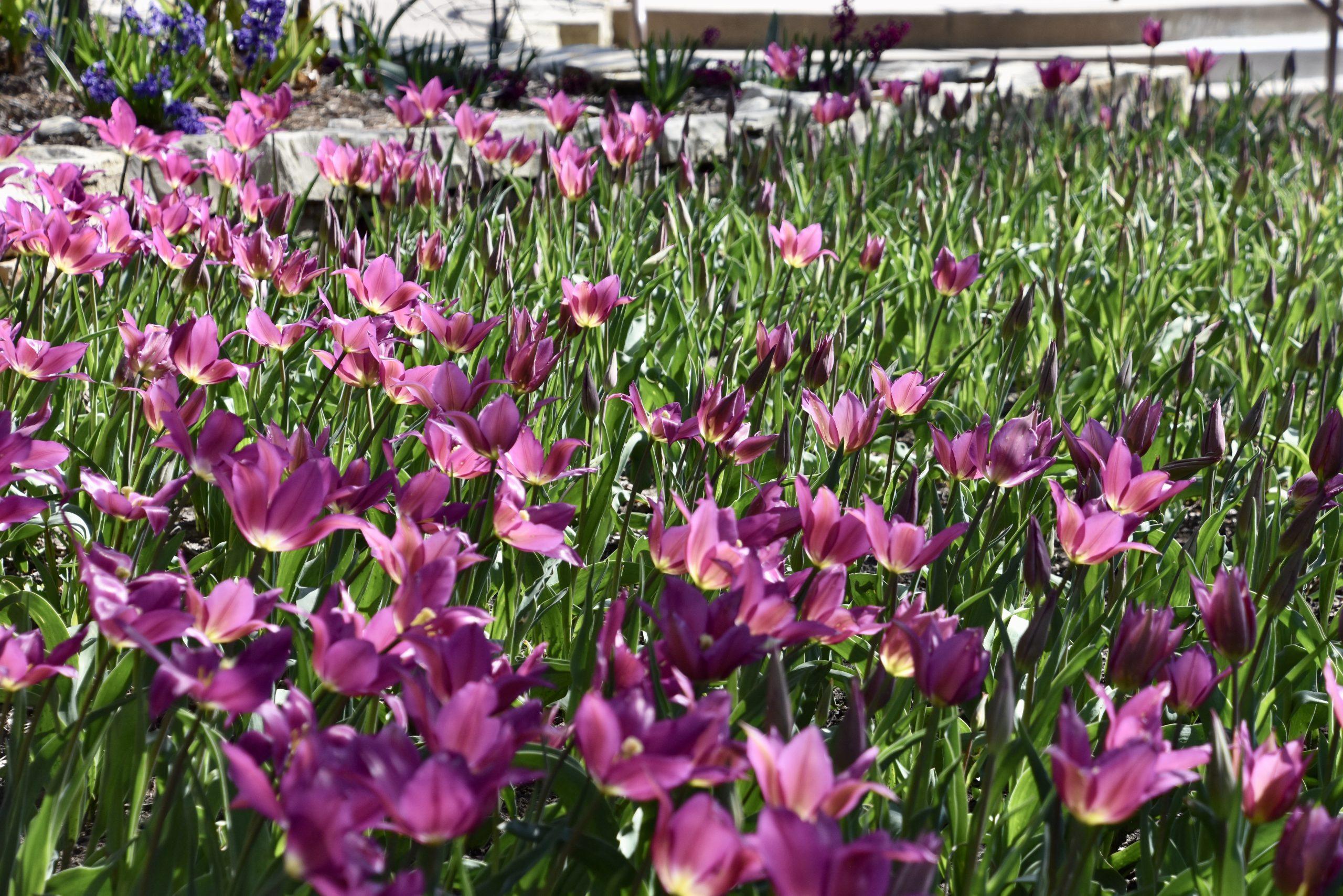 Tulip Festival Botanica