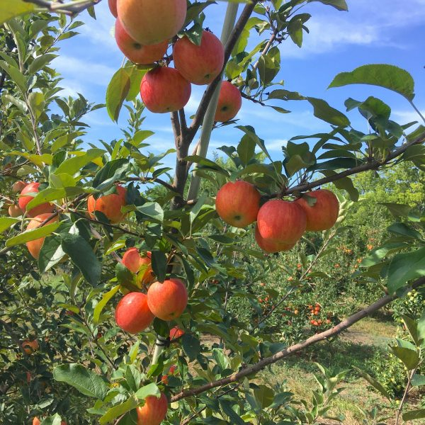 Apple Picking and You Pick Meadowlark
