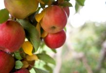 Apple Picking Wichita